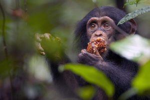 Le chimpanzé.