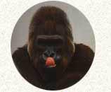 Langage-du-gorille