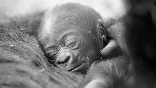 gorillons contre sa mère