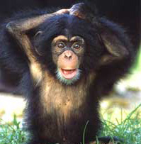 jeune_chimpanze