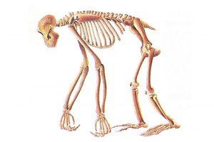 Squelette chimpanzé.
