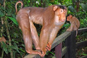 Macaque à queue de cochon des îles de la Sonde