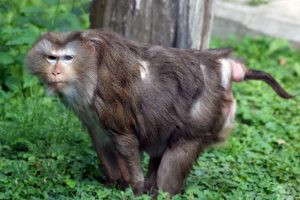 Macaque à queue de cochon du Nord.