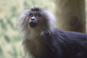 Macaque-à-queue-de-lion.