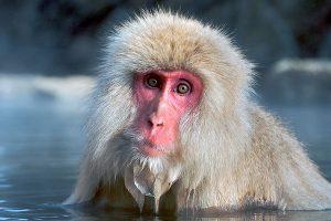 Macaque Japonnais.