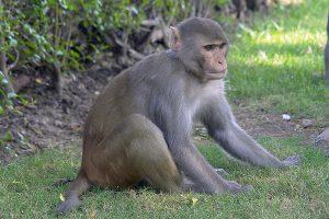 Macaque Rhésus.