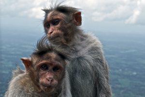 Macaque commun.