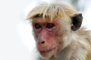 Macaque couronné.