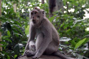Macaque crabier.