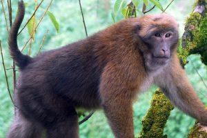 Macaque d'Assam.