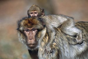 Macaque-de-Barbarie