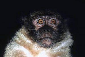 Macaque de Mentawai.