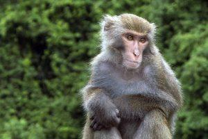 Macaque de Taïwan.