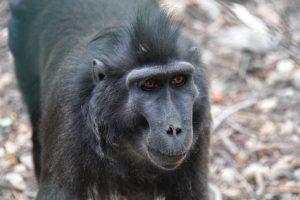 Macaque-negre.