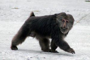 Macaque tibet.