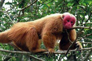 Macaque à face rouge.