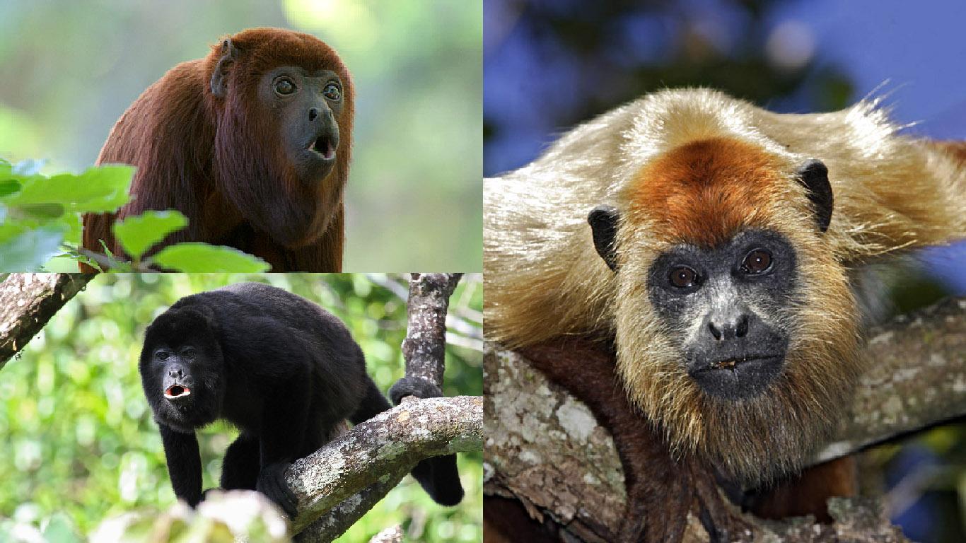 Le singe hurleur blog singe - Le singe d aladdin ...
