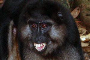 Macaque botté.