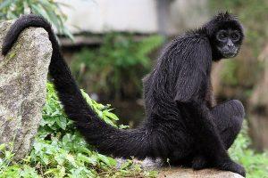 Le singe araignée aux mains noires.