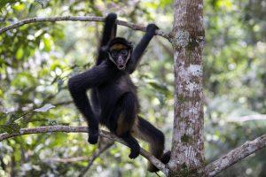 La singe araignée.