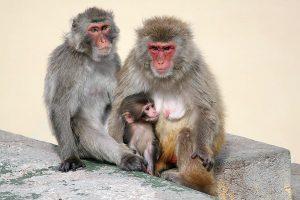 Famille de Macaque