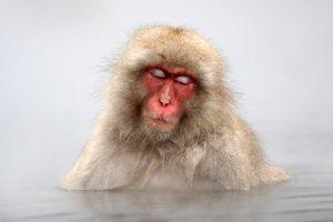 Le Macaque Japonais.