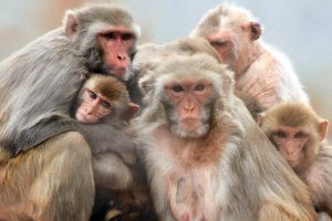 Groupe macaques