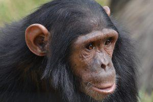 La chimpanzé.