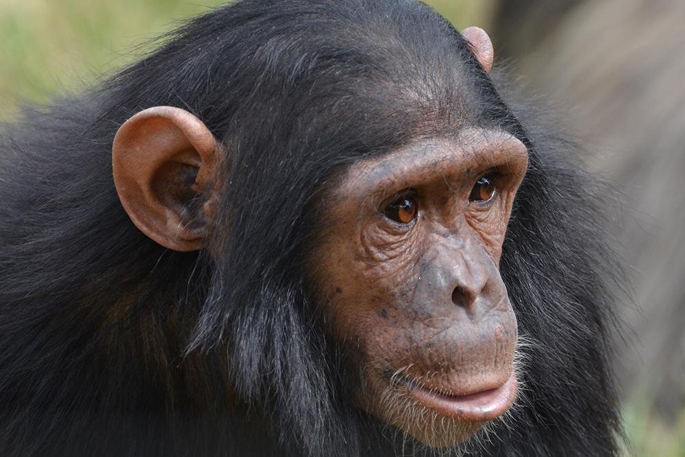 Les grands singes blog singe - Le singe d aladdin ...
